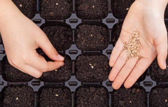 Підготовка насіння до посіву та основні правила висіву