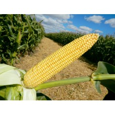 Насіння кукурудзи Максима