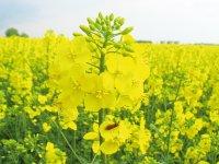 Якісне насіння ріпаку ГКХ-0224