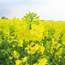 Качественные семена рапса ГКХ-0224